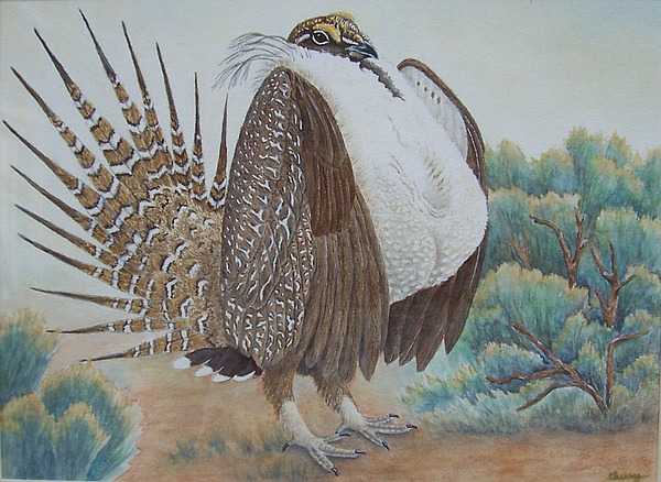 Sage grouse drawing - photo#12