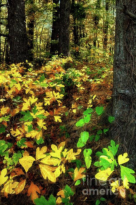 Sassafras Forest II Print by Dan Carmichael