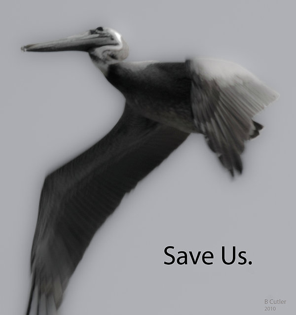 Save The Pelicans Print by Betsy C  Knapp