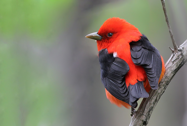 Scarlet Tanager Print by Mircea Costina Photography