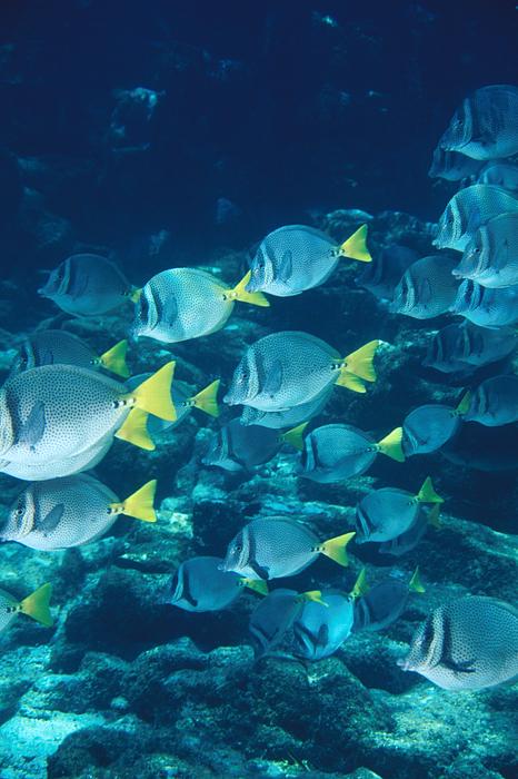 School Of Surgeonfish Cruising Reef Print by James Forte