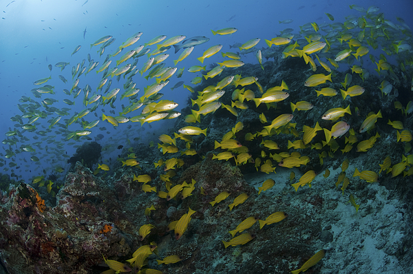 School Of Yellow Snapper, Great Barrier Print by Mathieu Meur