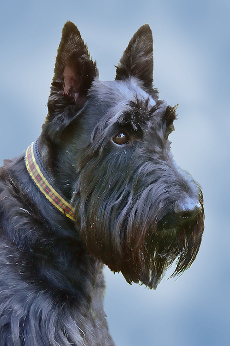 Scottish Terrier Dog Print by Jennie Marie Schell