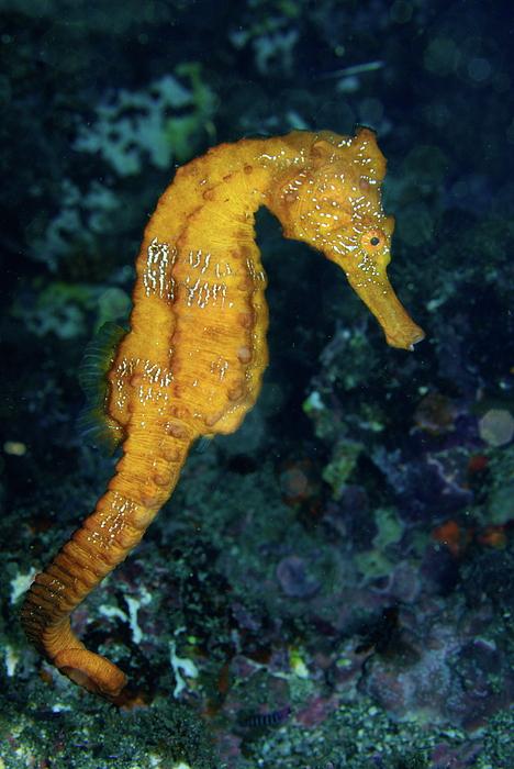 Sea Horse Underwater View Print by Sami Sarkis