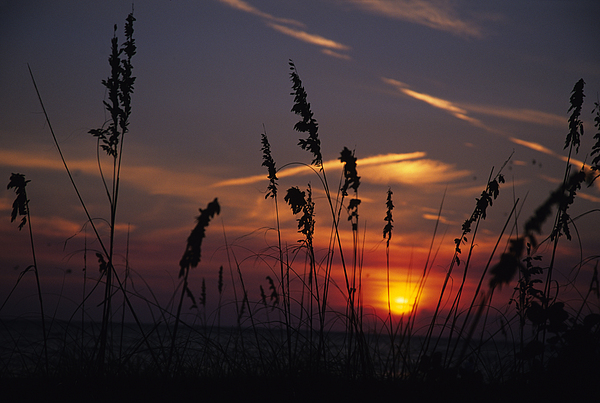 Sea Oats Blow In The Breeze As The Sun Print by Stacy Gold