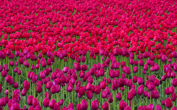 Sea Of Tulips Print by Mike  Dawson