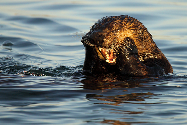 Sea Otter With A Toothache Print by Max Allen
