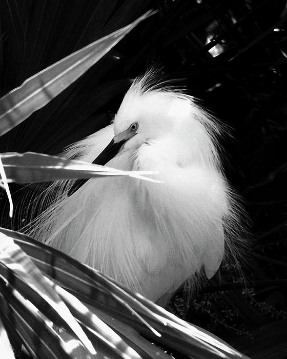 Peg Urban - Shy Snowy Egret