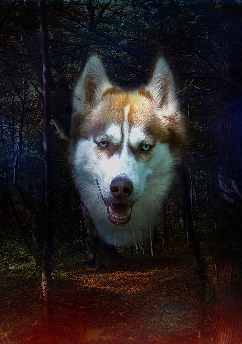 Siberian Husky Print by Brian Roscorla