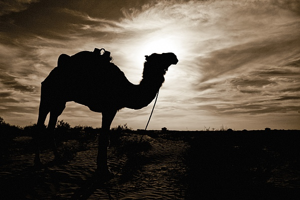 Silhouetted Camel, Sahara Desert, Douz Print by David DuChemin