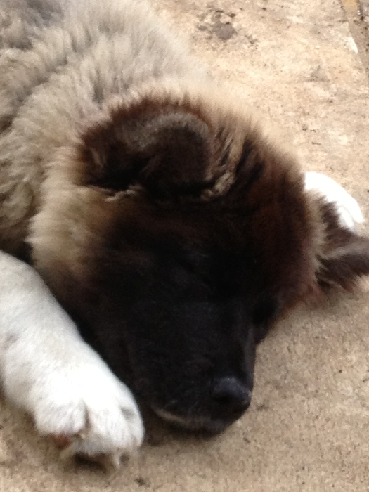 Sleeping Akita Puppy By Kathleen Fair