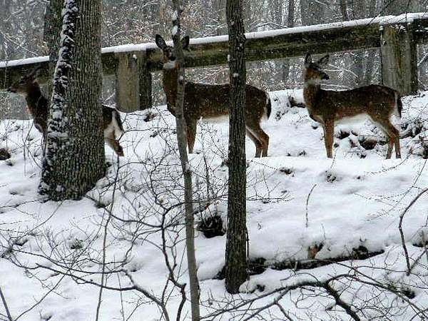 Snow Deer - Rock Creek Park Washington Dc Print by Fareeha Khawaja