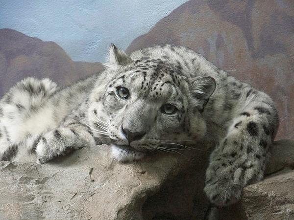 Snow Leopard Relaxing Print by Ernie Echols
