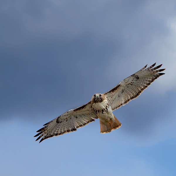 Soaring Red Tail Print by Bill  Wakeley