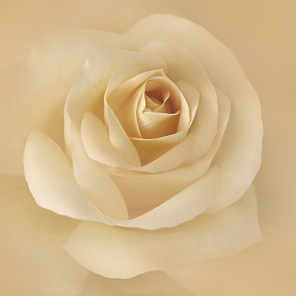 Soft Golden Rose Flower Print by Jennie Marie Schell