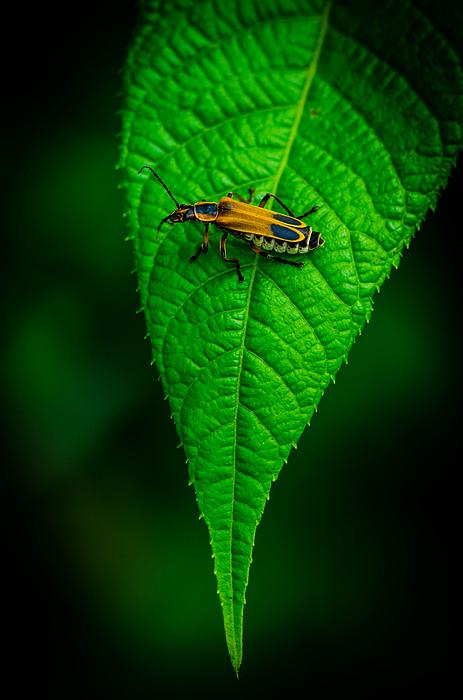 Bruce Pritchett - Soldier Beetle