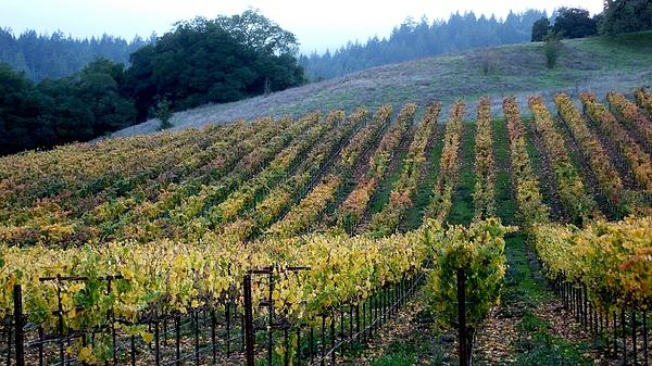 Sonoma County Vineyards Near Healdsburg Print by Charlene Mitchell