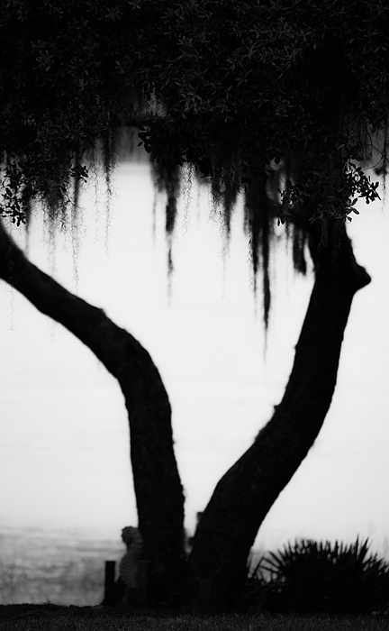 Spanish Moss In Silhouette By Shelby Young