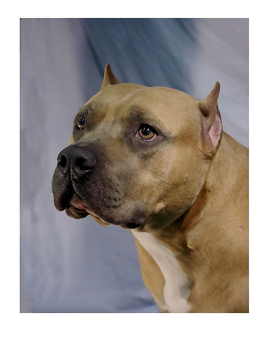 National Dog Show Staffordshire Bull Terrier