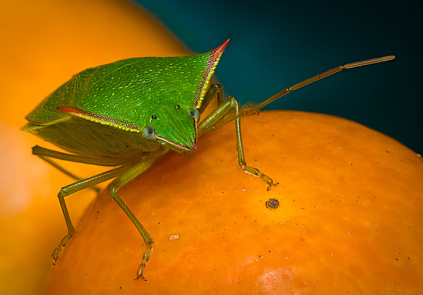Stink Bug On Kumquats Print by Warren Sarle