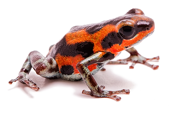 White reed frogs