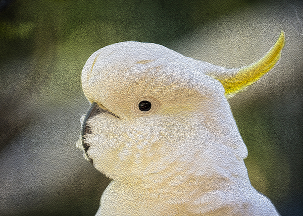 Sulphur Crested Cockatoo Print by Sheila Smart