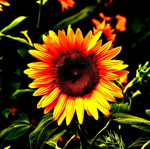 Sunburst Of The Sunflower Print by Marc Mesa