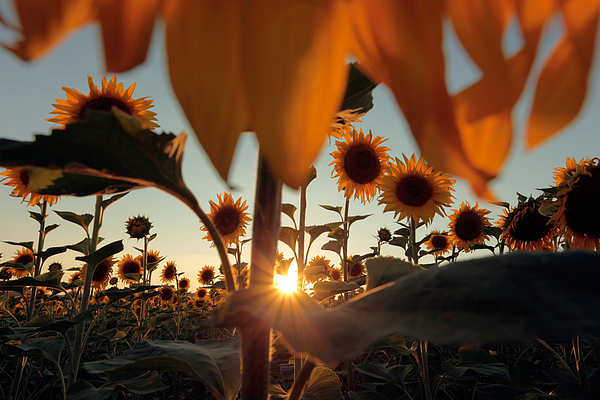 Sunflower Field Print by Floriana Barbu