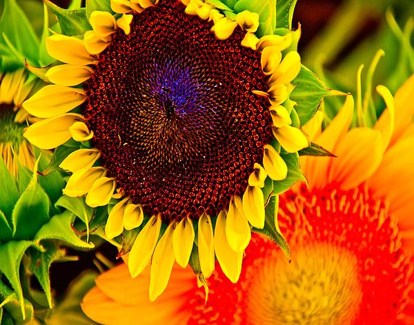 Sunflower Joy By Jennifer Lycke