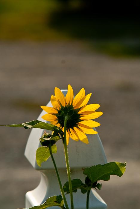 Sunflower Morning Print by Douglas Barnett