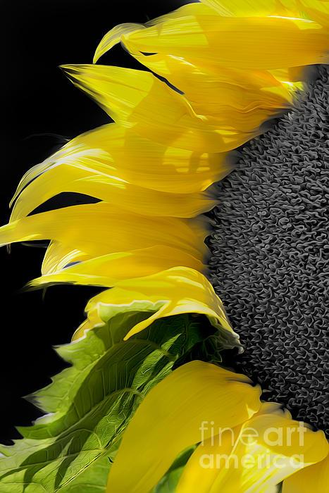 Paul Danaher - Sunflower