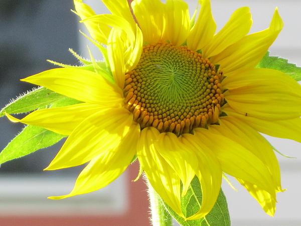 Rachel Nusz - Sunflower