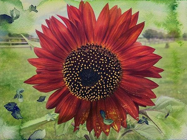 sunflower symbolize summer by tammy pressley. Black Bedroom Furniture Sets. Home Design Ideas