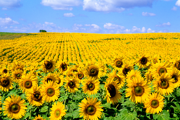 Sunflowers Print by Bill Bachmann and Photo Researchers