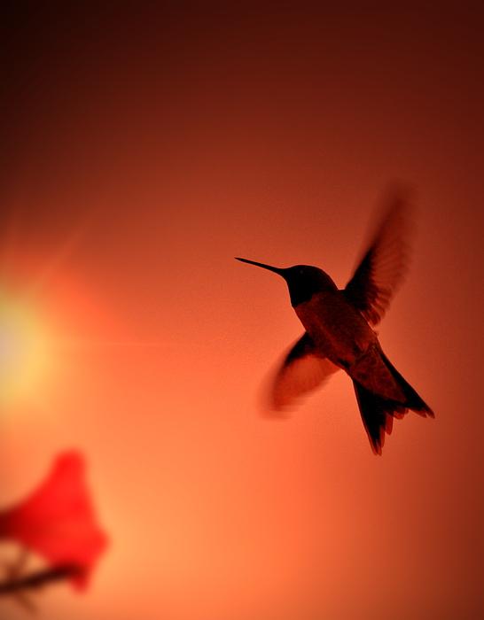 Emily Stauring - Sunset Hummingbird