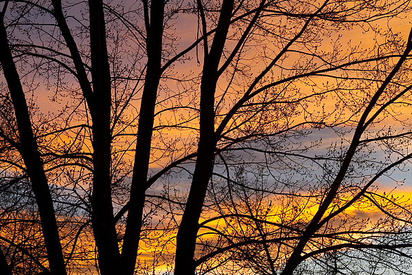Sunset Through The Tree Silhouette Print by James BO  Insogna