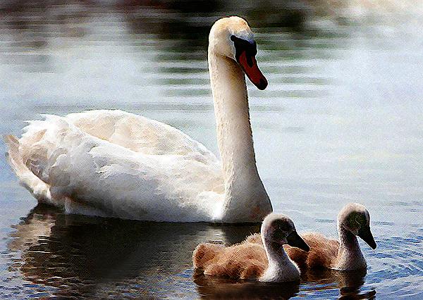 Swan Family Print by Terril Heilman