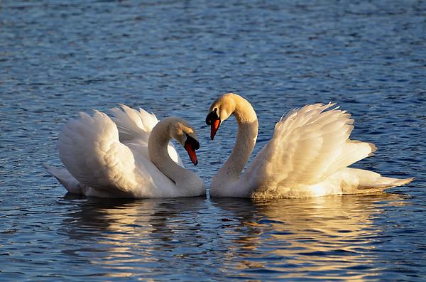 Swan Heart Print by Mats Silvan