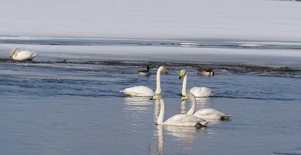 Tamara Sushko - swans in lake in Norrbotten