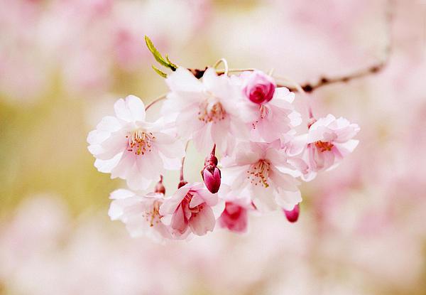 Jessica Jenney - Sweet Cherry