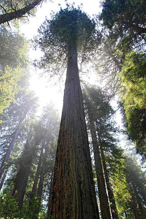 Pierre Leclerc Photography - Tall Trees of Redwood National Park