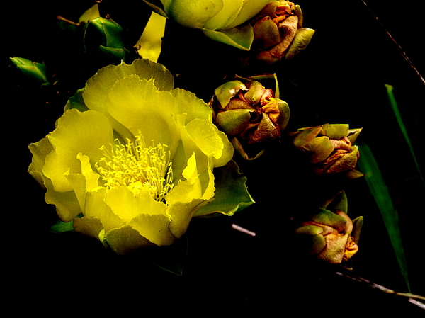 Texas Rose Vi Print by James Granberry