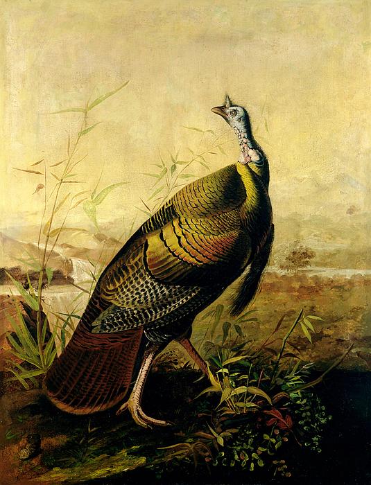 The American Wild Turkey Cock Print by John James Audubon