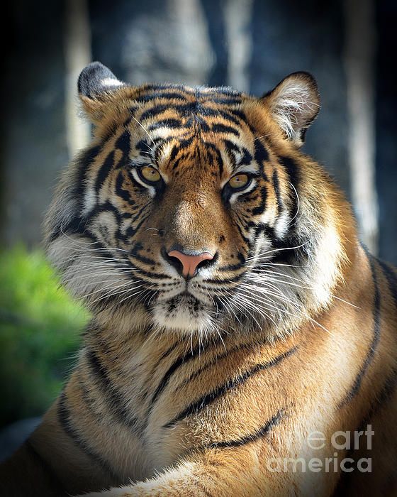 Jim Fitzpatrick - The Glare of a Tiger