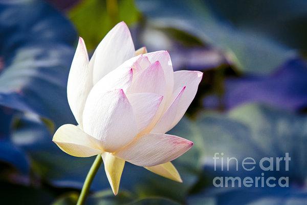 The Sacred Lotus Print by Sharon Mau