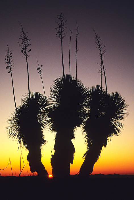 The Sun Sets Behind A Stand Of Yucca Print by Bill Hatcher