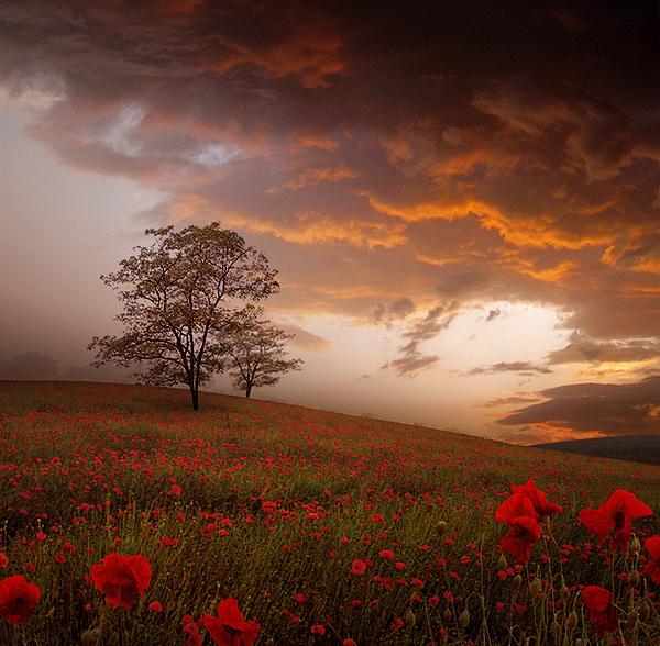 Stoyanka Ivanova - The Sunset of the Poppies