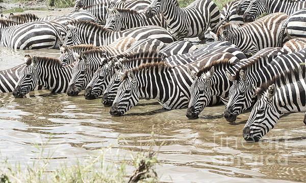 Pravine Chester - Thirsty Zebras