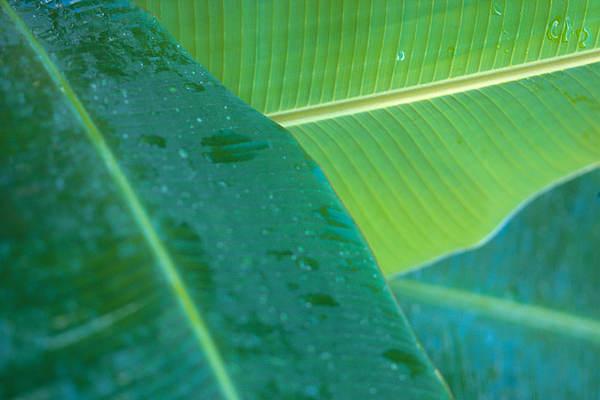 Three Banana Leaves Print by Dana Edmunds - Printscapes