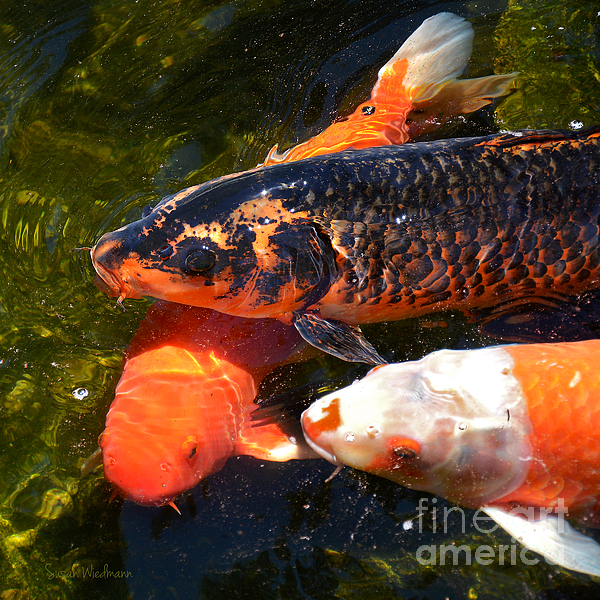 Three Koi Waiting Print by Susan Wiedmann